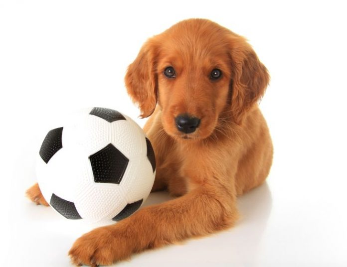 Hund mit Fußball