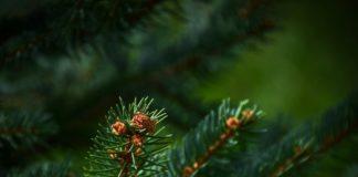 Tannenbaum Weihnachtsbaum Entsorgung