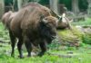 Büffel Wisentgehege Springe Wisent-Run