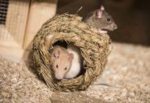 Ratten_Museum Hameln