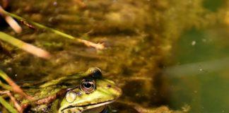Frosch - Krötenwanderung
