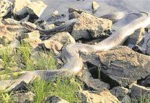 Python Weserufer