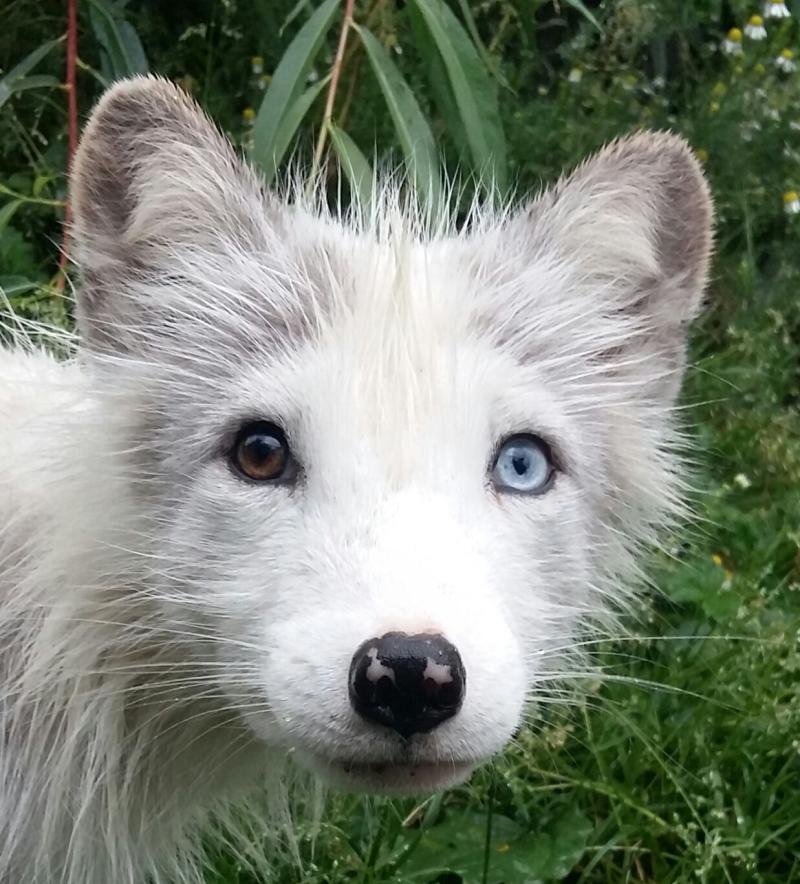 Polarfuchs Bowie
