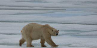 Eisbär-Männchen Karupelv_©Kersten Hänel