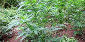 Hanfplantage_1 web