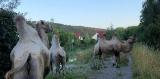Kamele Hameln Polizei
