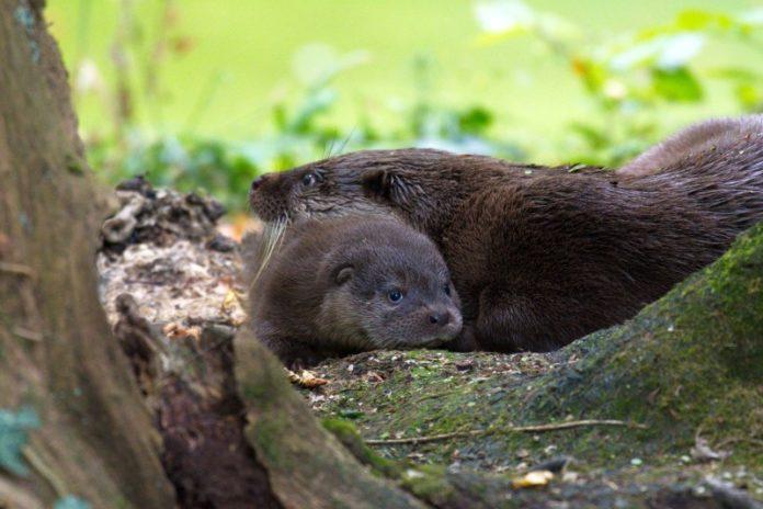 Otterbaby