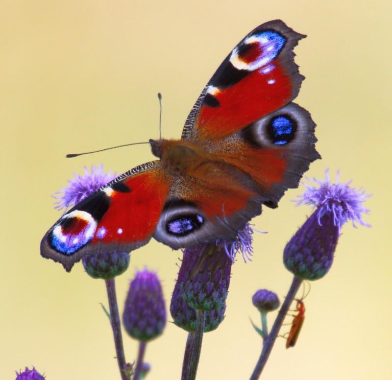 Schmetterling_©Hennig_Wisentgehege