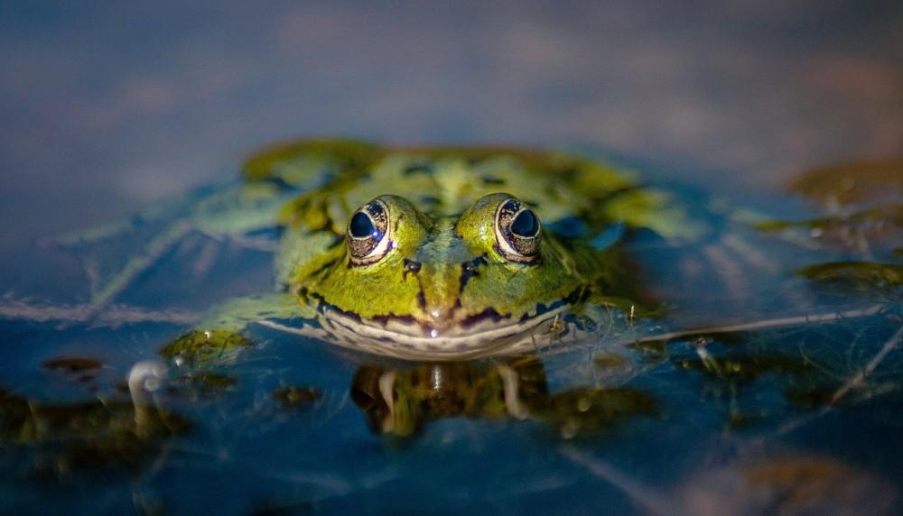 frosch-wasser-pixabay-knipsling