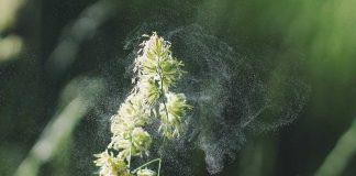 pflanze-pollen-allergie