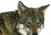 Wolf depositphotos_333874440-stock-photo-loup-deurope-canis-lupus